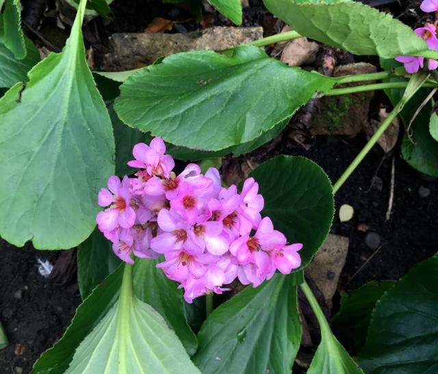 pink flowering hostas