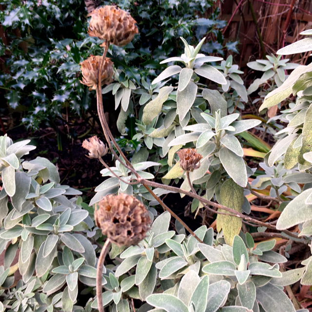 dead flower heads and silvery sage like leaves