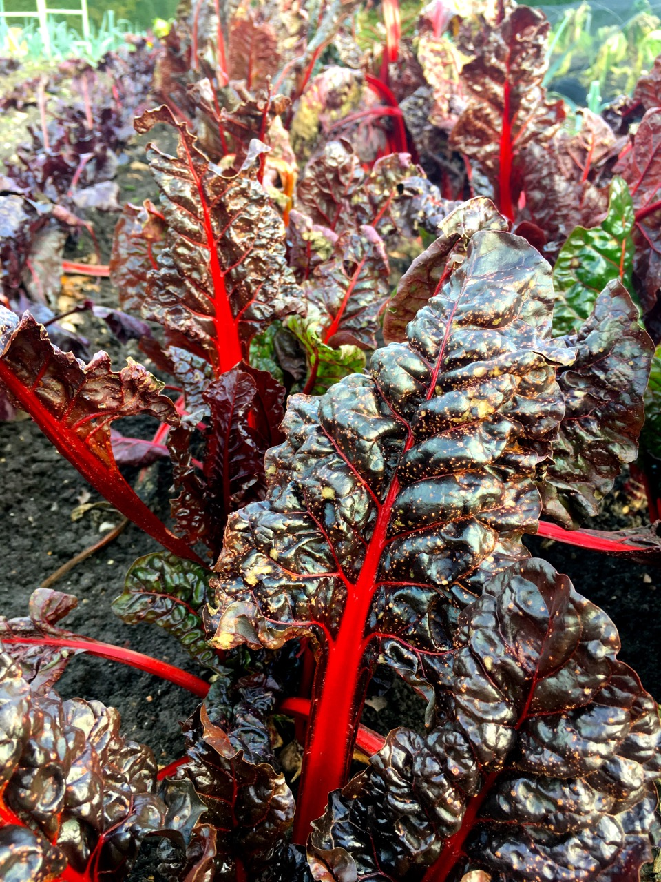 Ruby chard in the vegetable garden at RHS Wisley