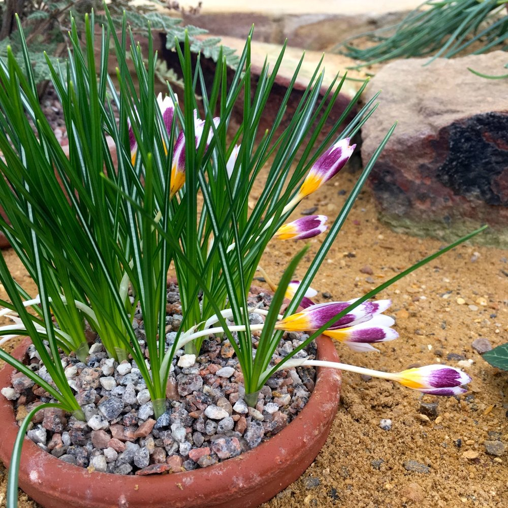 a three coloured crocus in the Alpine House at RHS Wisley