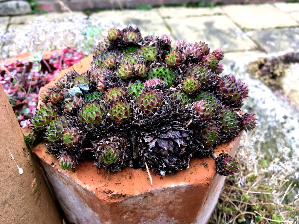 And growing out of a brick by the Alpine House at RHS Wisley