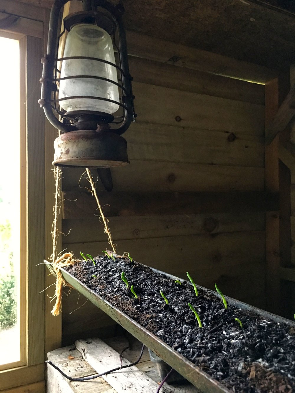 hanging peas in a gutter - now there's an idea