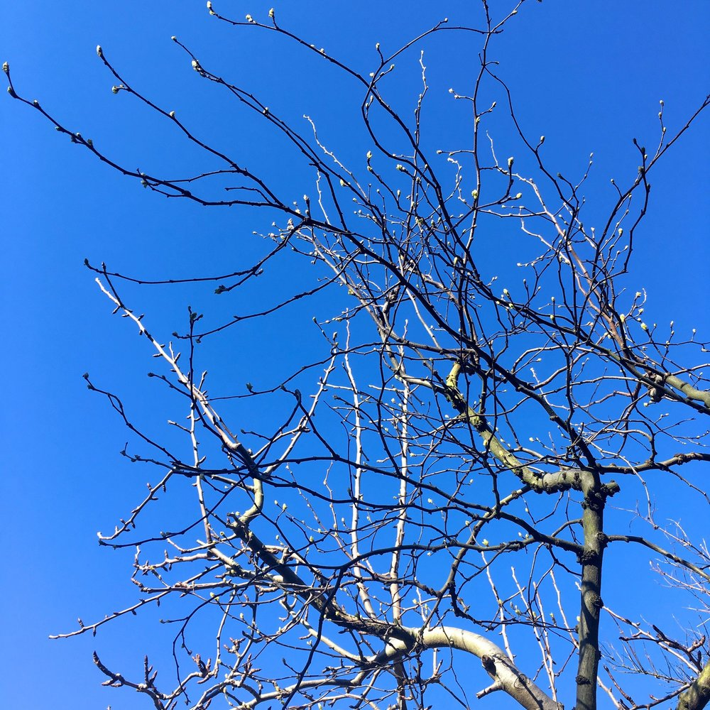 Blue skies and buds on my pear tree