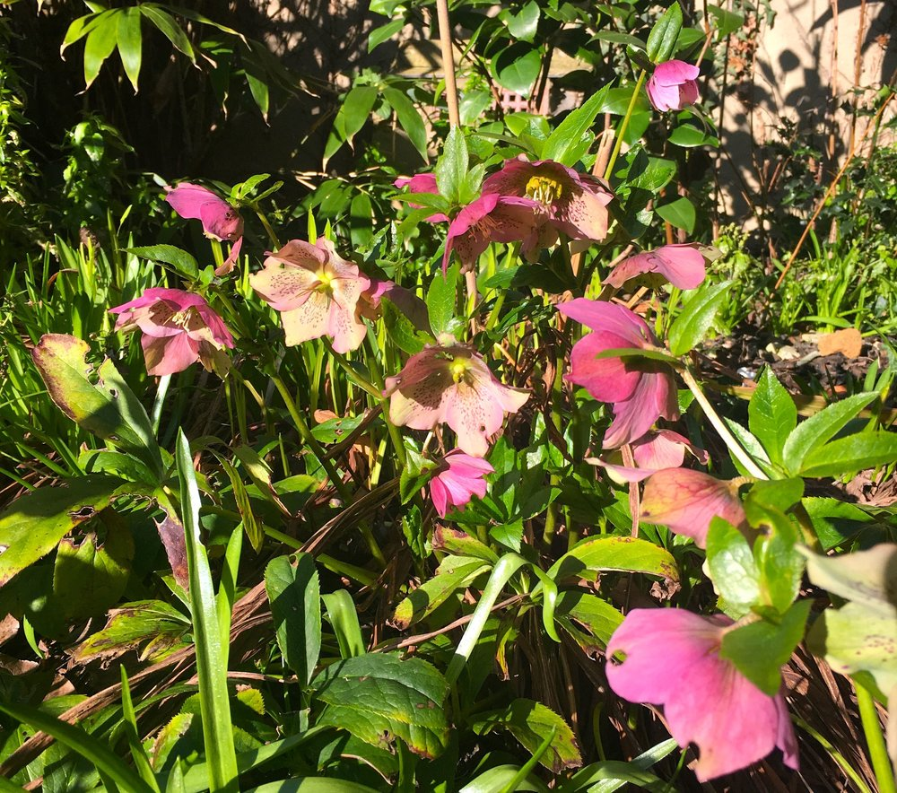 Cheery but shy hellebores on view from the house