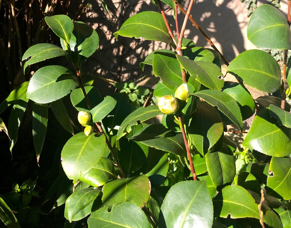 Buds on my newest camelia - I'm expecting some white flowers