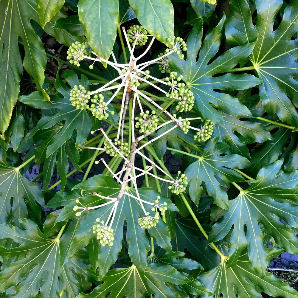 The fatsia flowers are looking particularly sputnik like