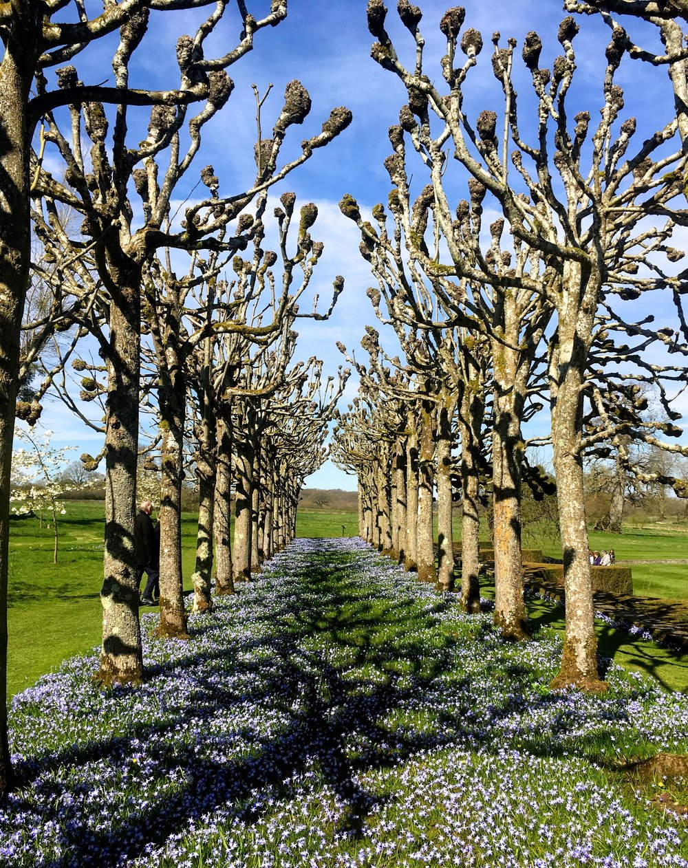 Lime trees, bulbs and blue skies - it must be almost Spring