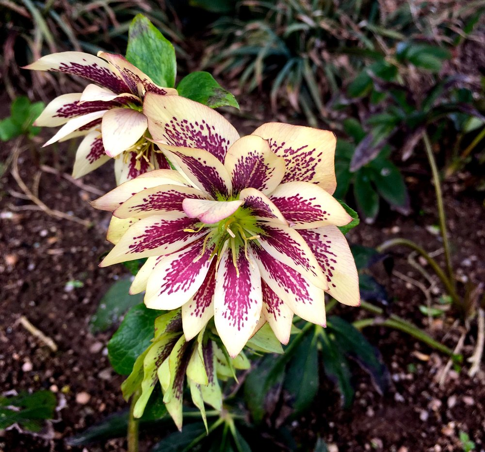 Hellebores at The Walled Gardens of Cannington