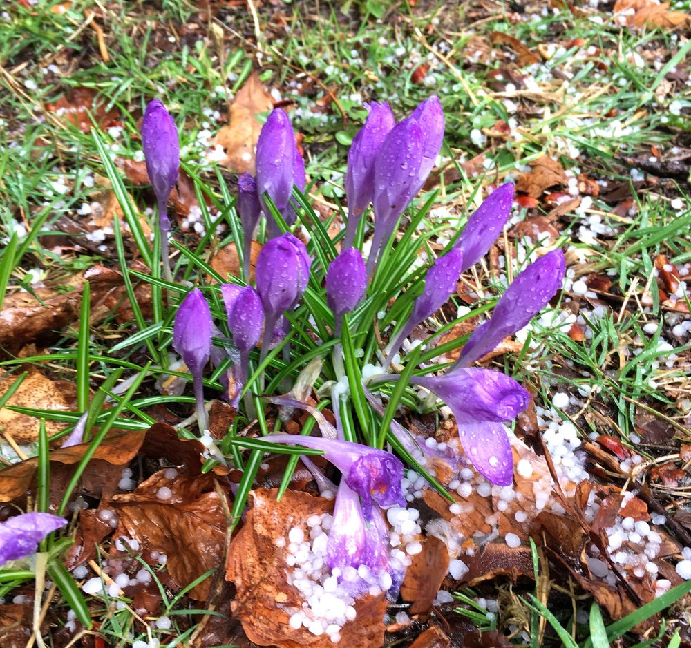 Crocuses and hail in the gardens at Castle Drogo