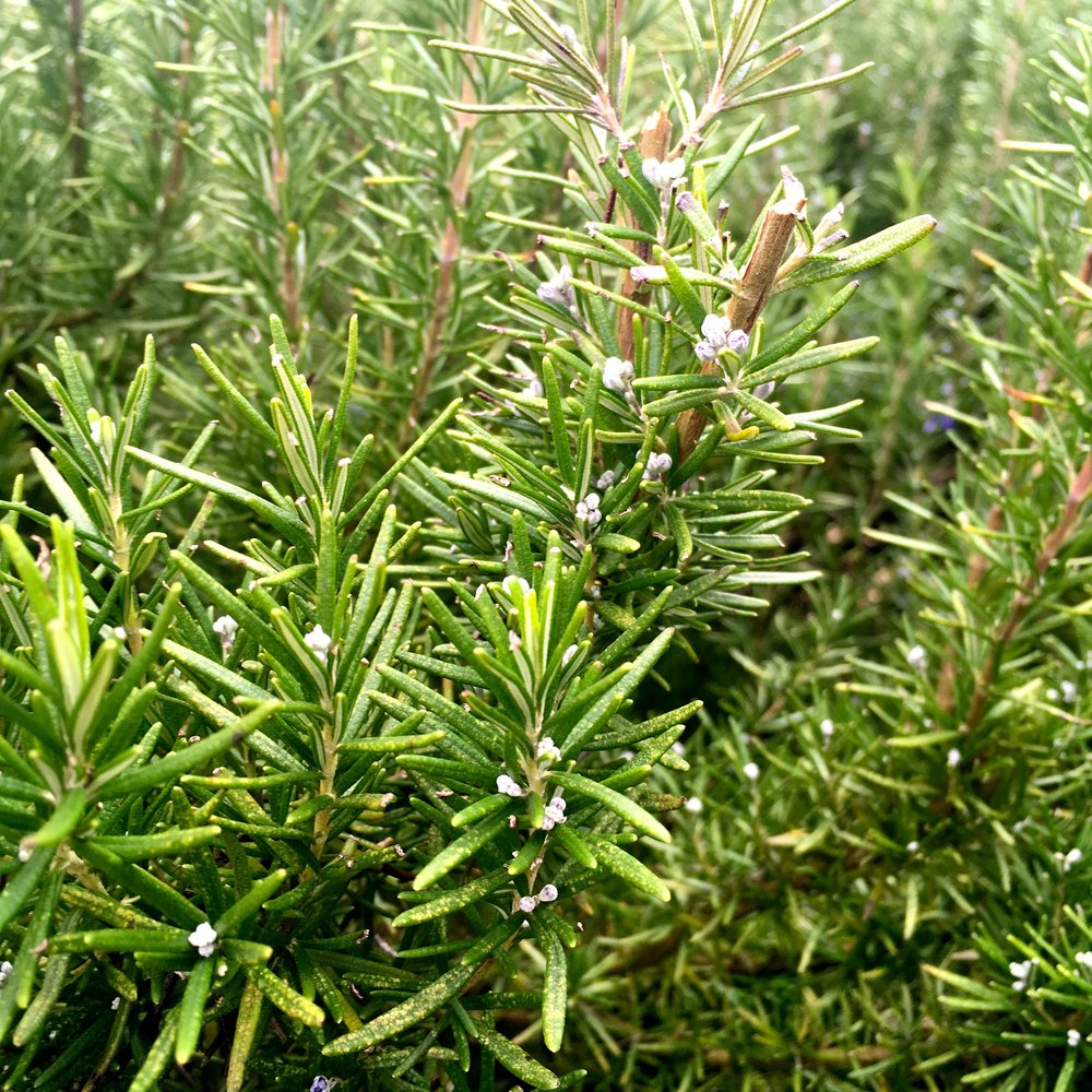 BLUE FLOWERS STARTING TO SHOW ON THE ROSEMARY
