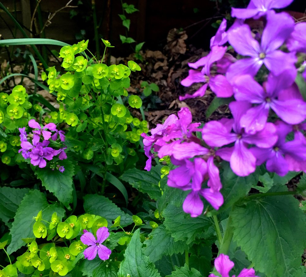 the vibrant lilac of honesty against the lime green euphorbia