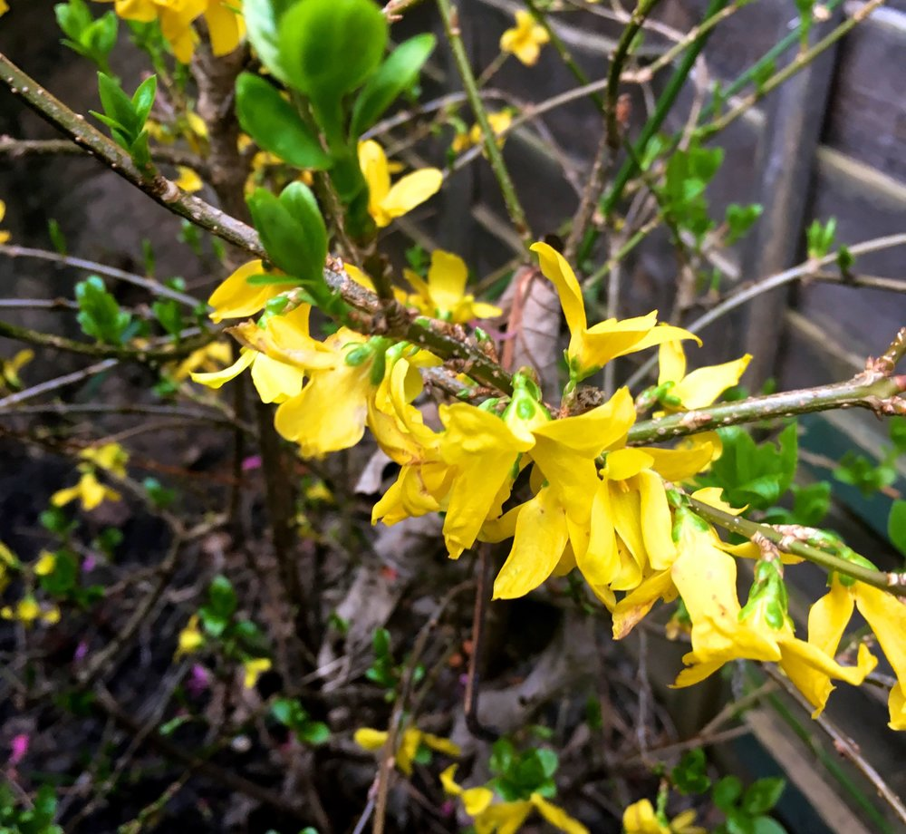 a branch of flowering yellow forsythia