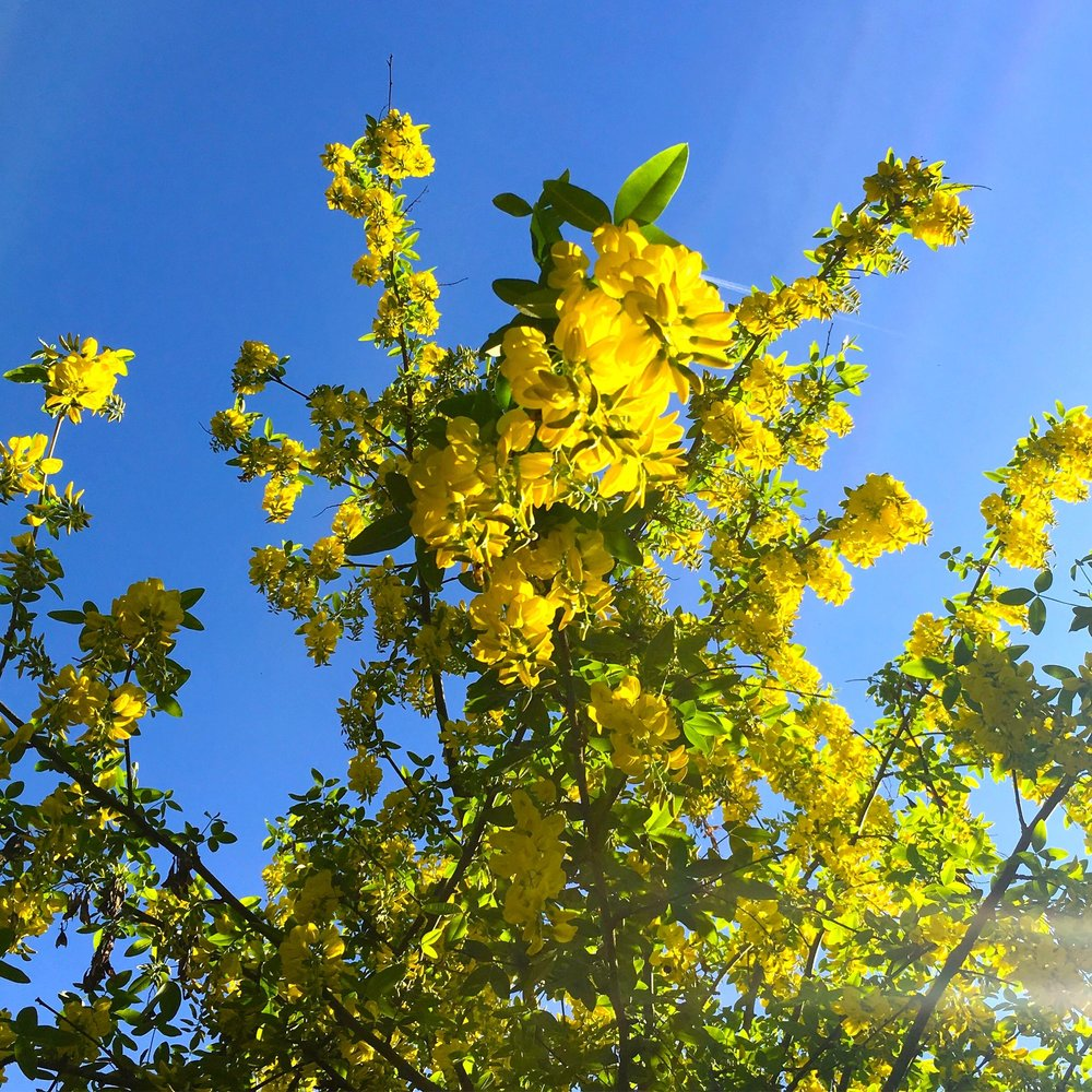 Looking up at the yellow laburnum against the blue sky