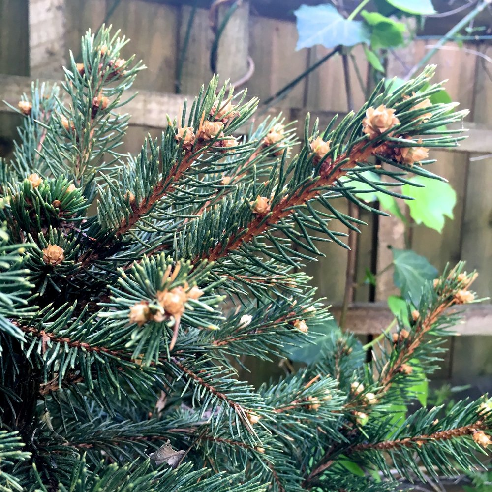 growth on the small christmas tree