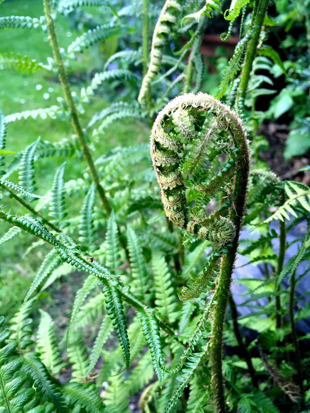 an unfurling fern