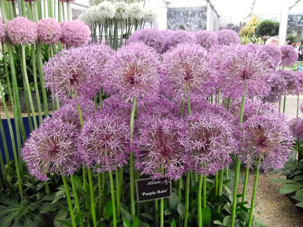2015: ALLIUMS IN THE GRAND PAVILION