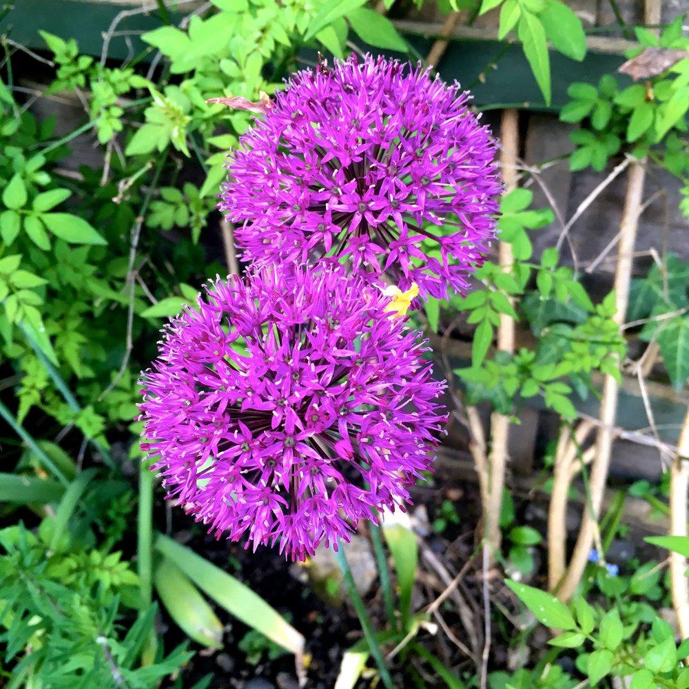 alliums in my garden