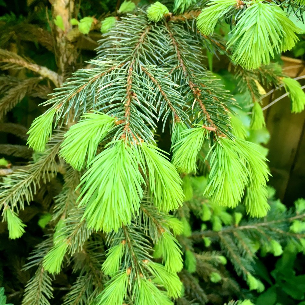 NEW GROWTH ON THE SMALL CHRISTMAS TREE