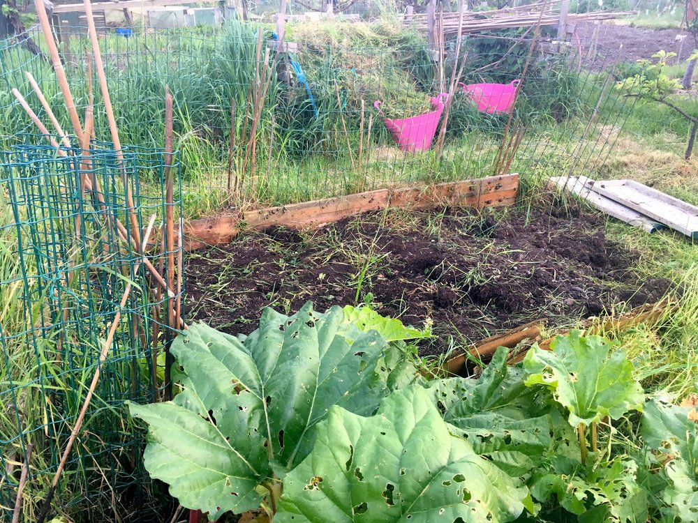MORE WEEDING DONE, AND NIBBLED RHUBARB LEAVES