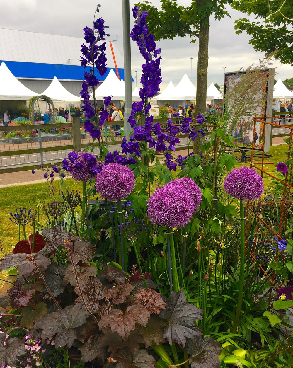 Alliums in flower and a hint of purple
