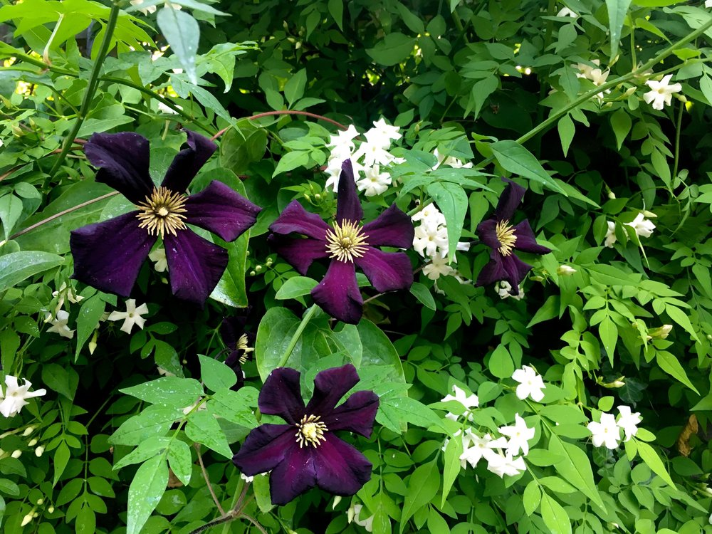 clematis and jasmine on the patio