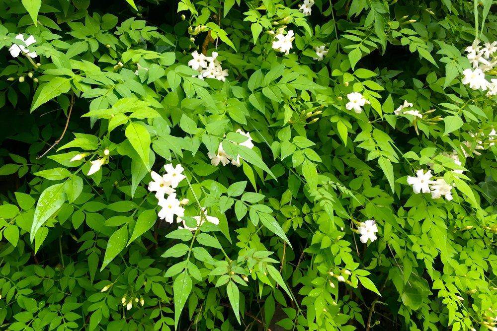 A cascade of jasmine