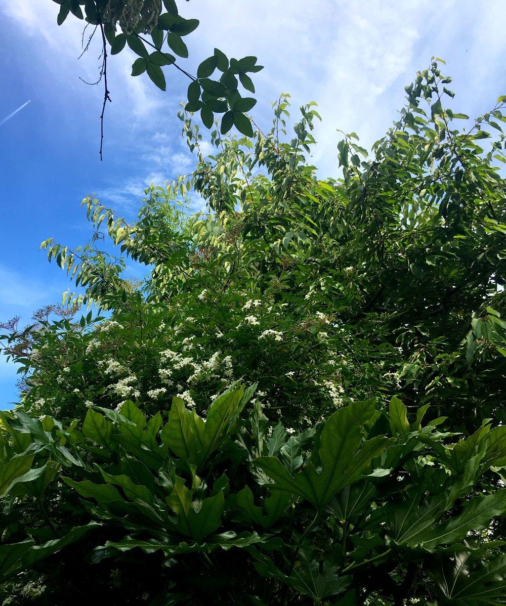 Jasmine among the elderflower and above the fatsia