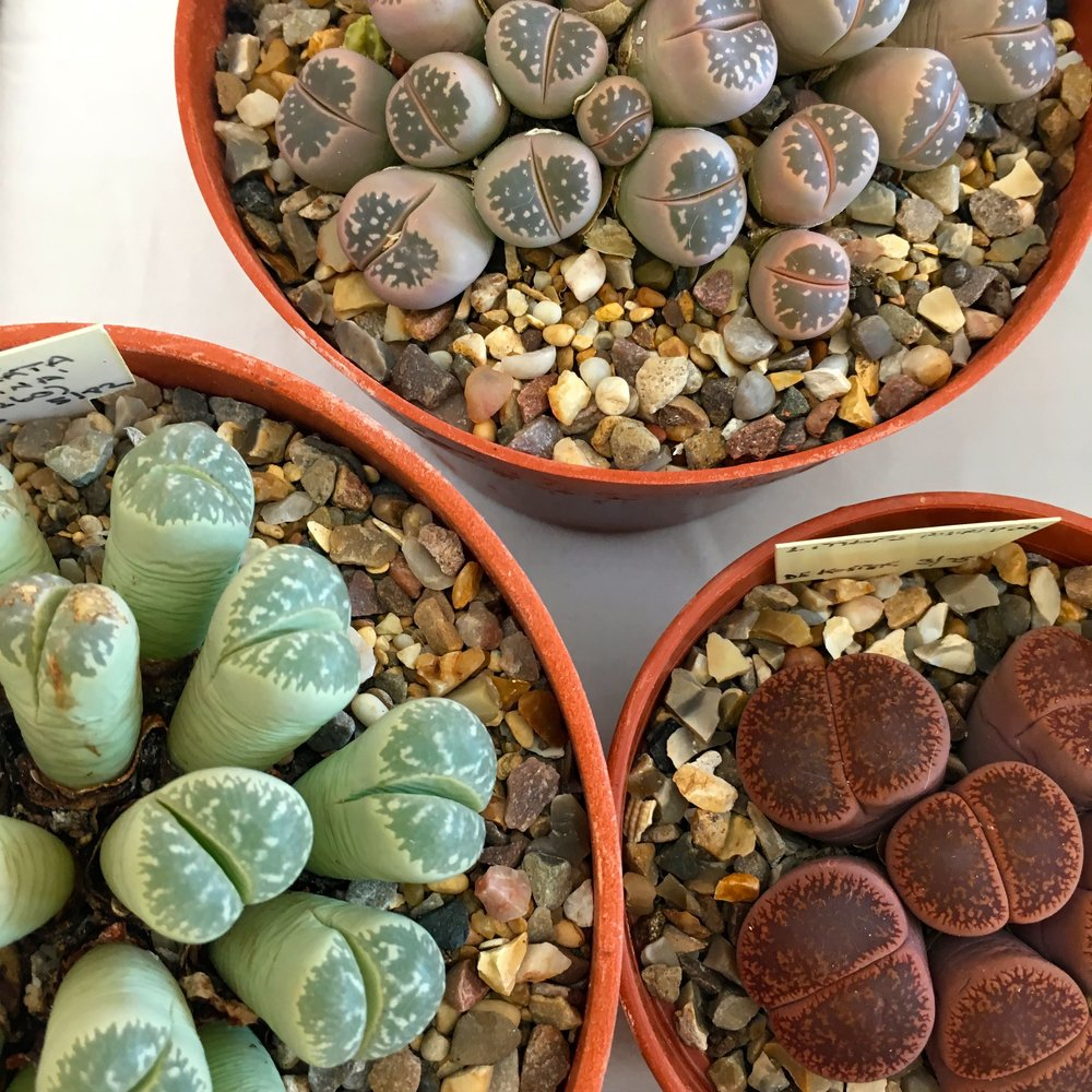 A cacti show at RHS hyde hall with lithops - or cowboys bums