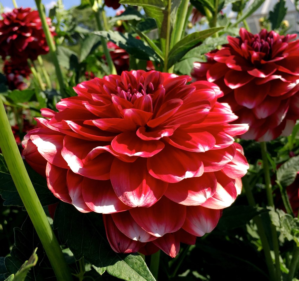 The raspberry ripple of the dahlia world?