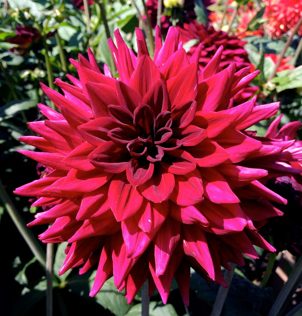 dahlias have a mandala-like quality to them