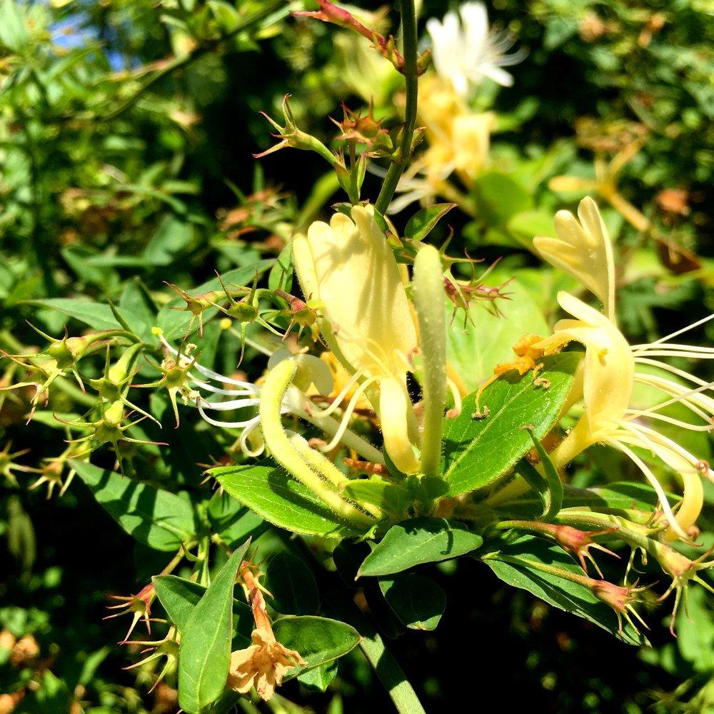 fragrant honeysuckle on the patio