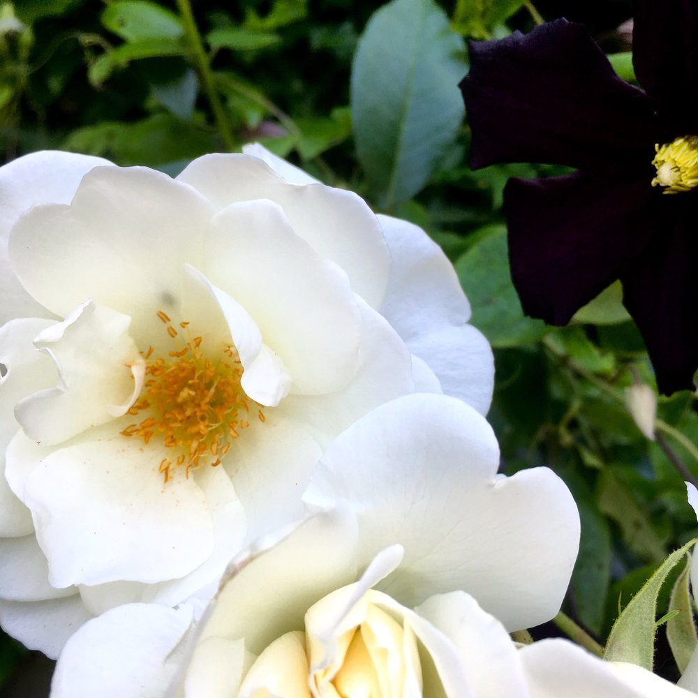 white roses - prolific but scentless
