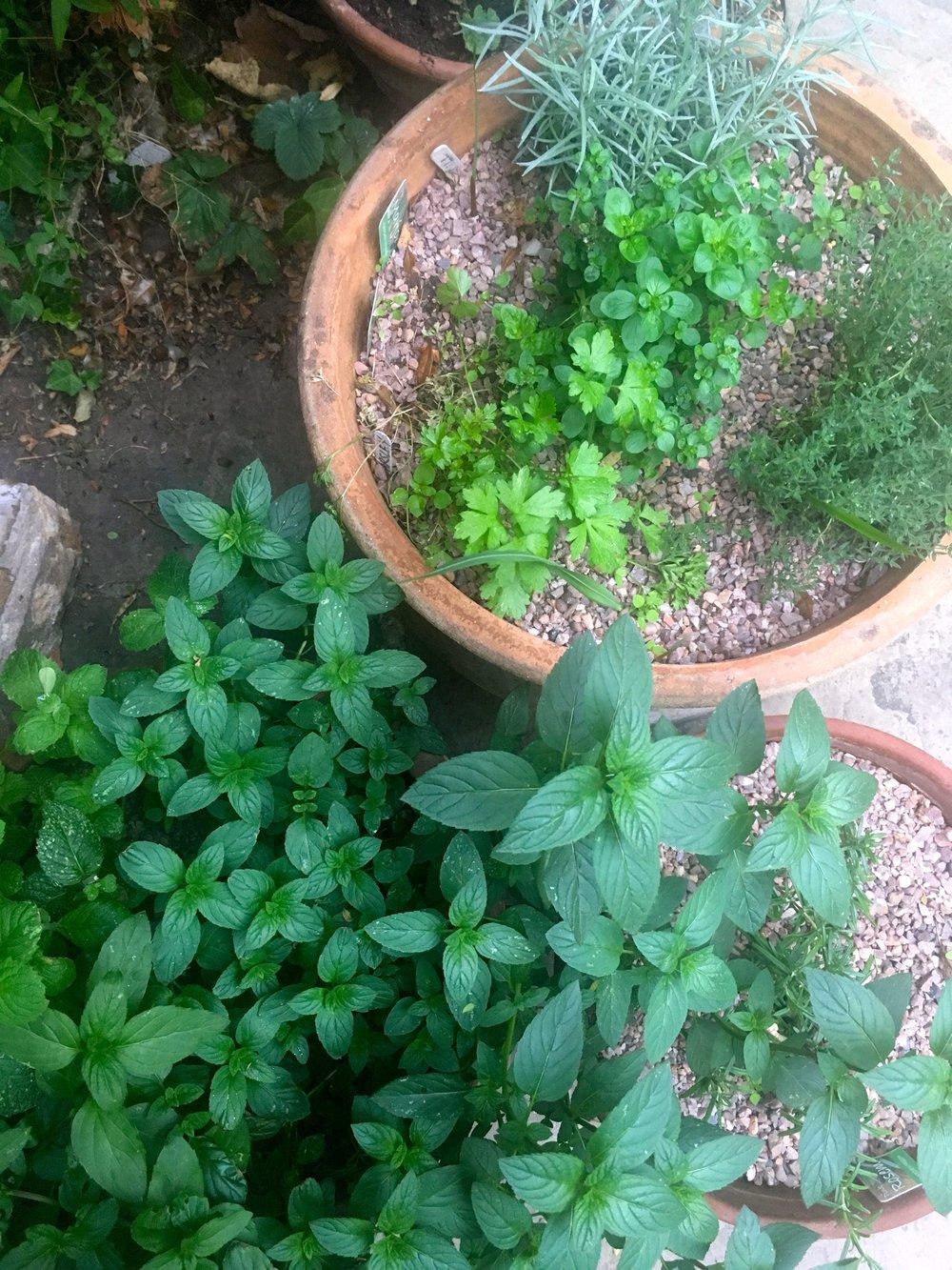 herbs gone wild