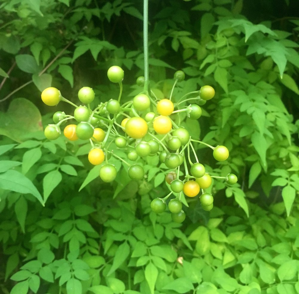 berries on the chilean potato plant
