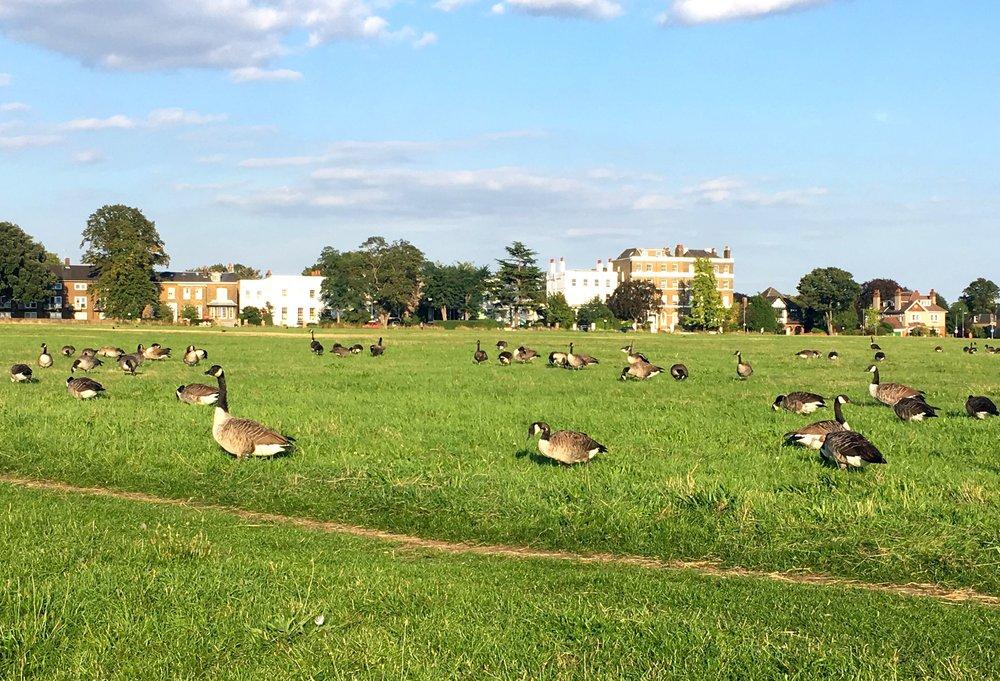 Blackheath full of geese