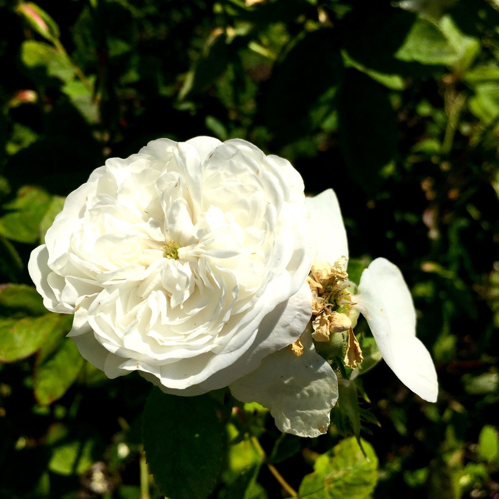 frilly white roses packed with petals