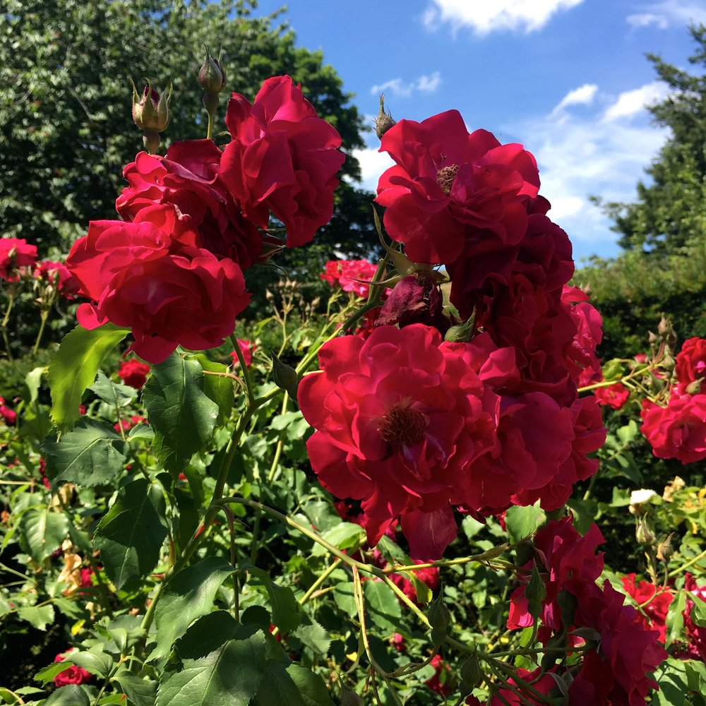 bursts of red roses too