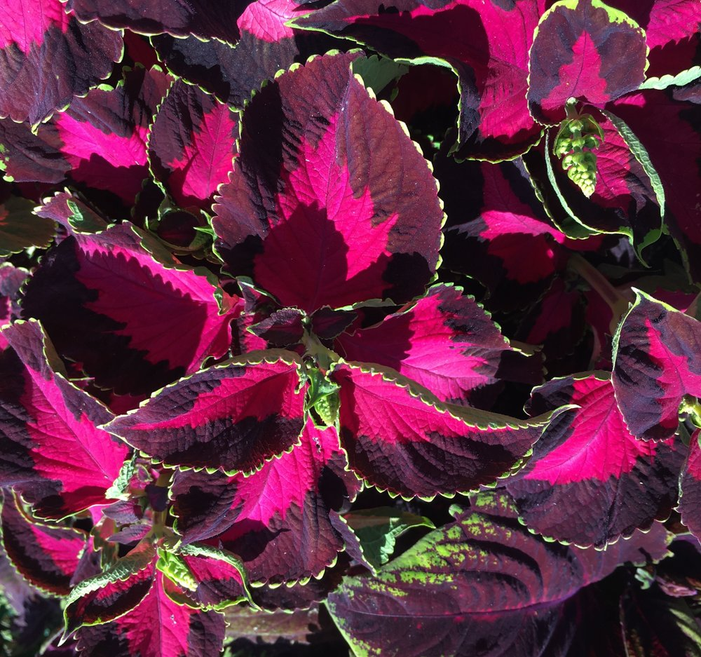 Sunlight on the coleus at Hyde Hall
