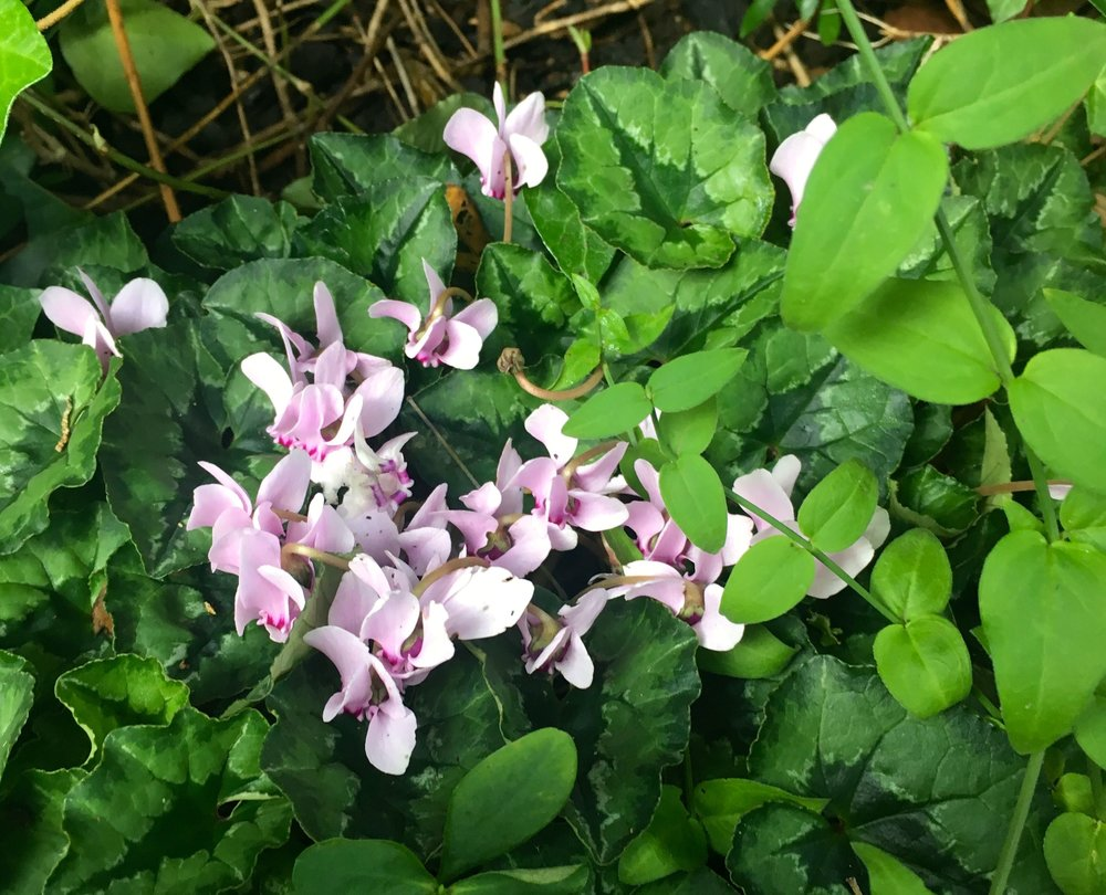 more cyclamen creeping around the garden
