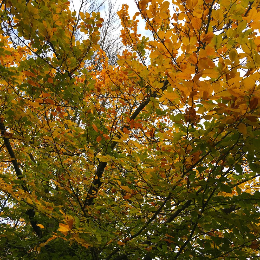 autumn leaves - and trees - in Greenwich Park