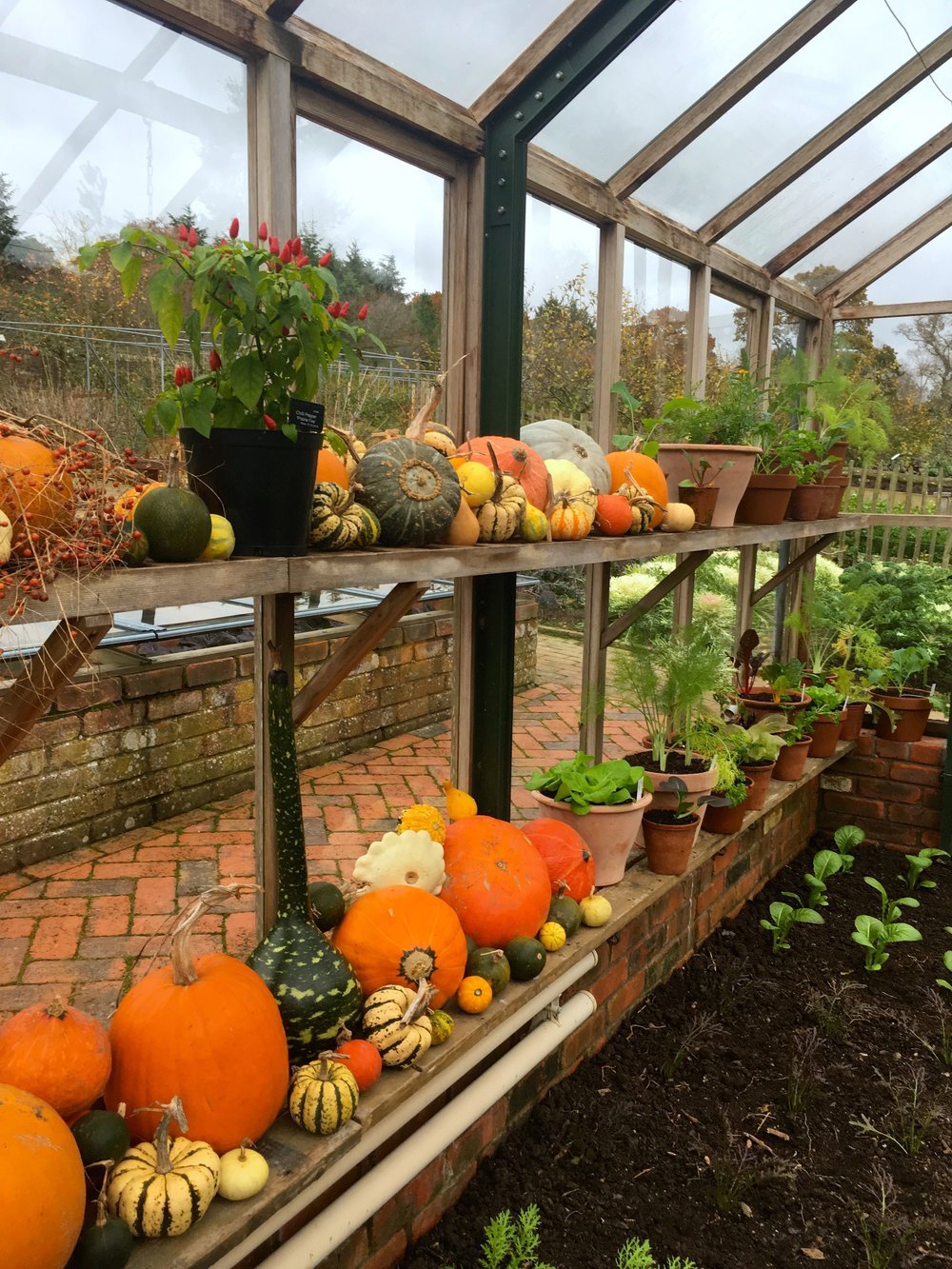 rows of pumpkins in the greenhouse