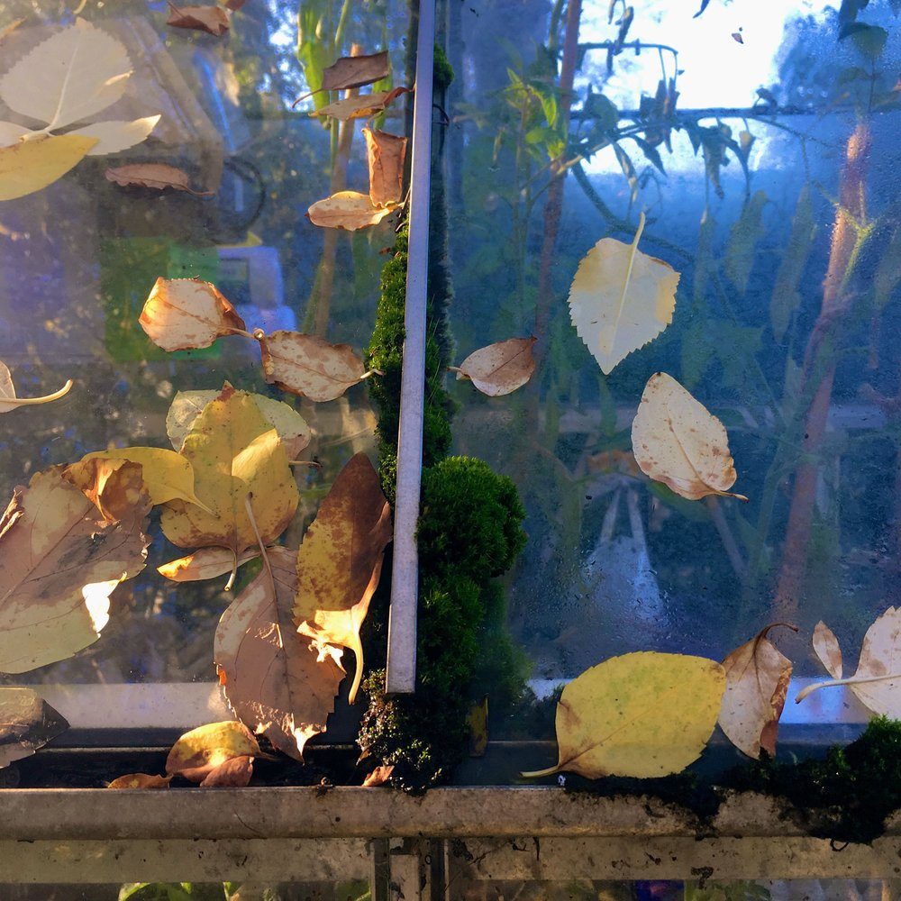 leaves - and moss - on the greenhouse