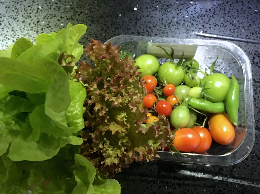 the last pickings of tomatoes and lettuce from my garden