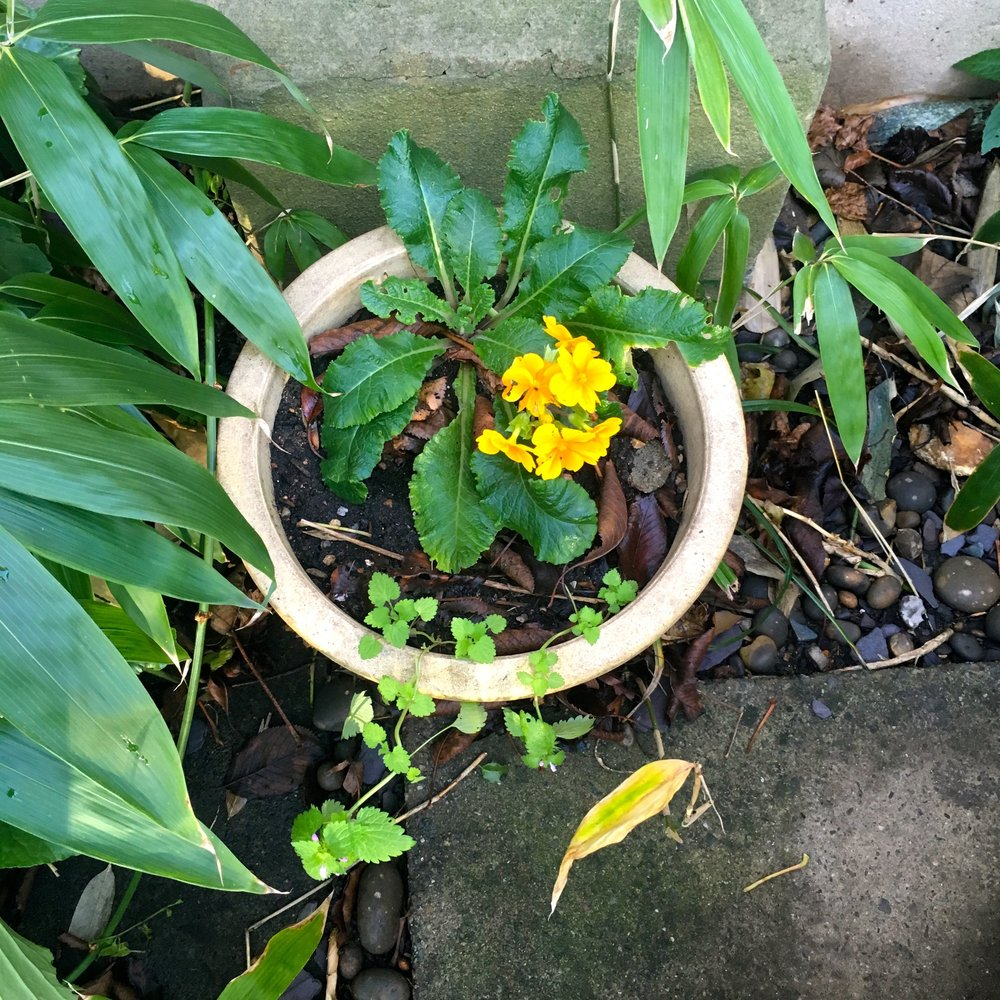 a determined to flower primula