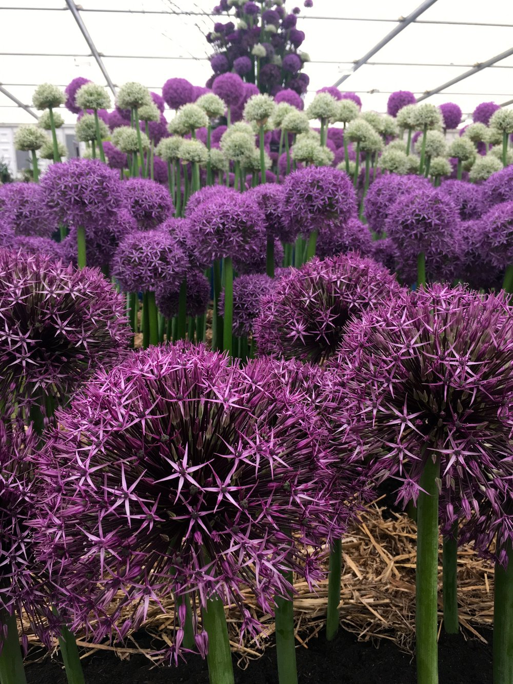 Layers of alliums in the pavilion at chelsea