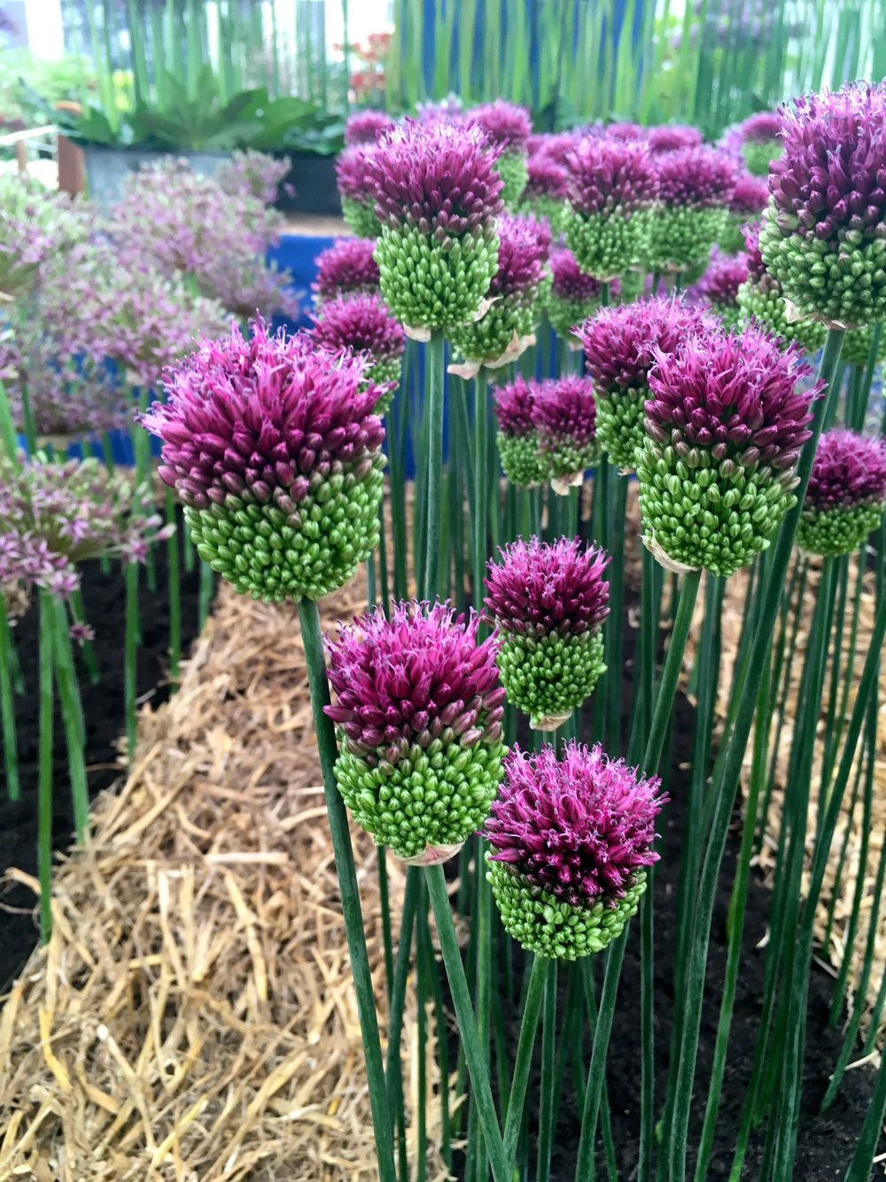 alliums with a touch of thistle about them
