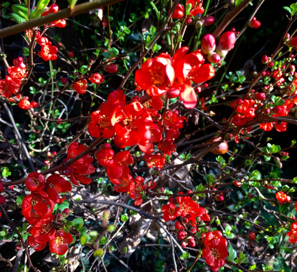 the ornamental quince is in full flower