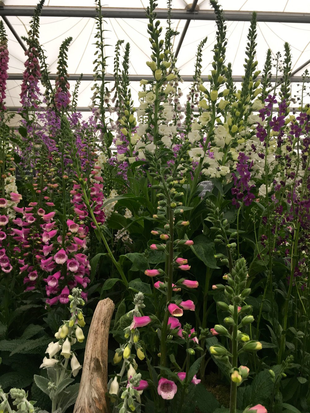 Foxgloves at Chelsea