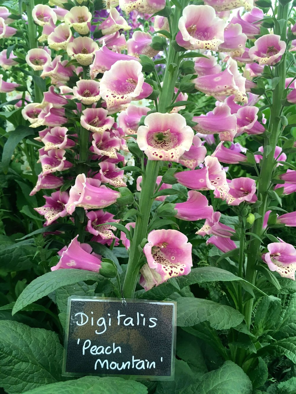 Pink digitalis at the chelsea flower show