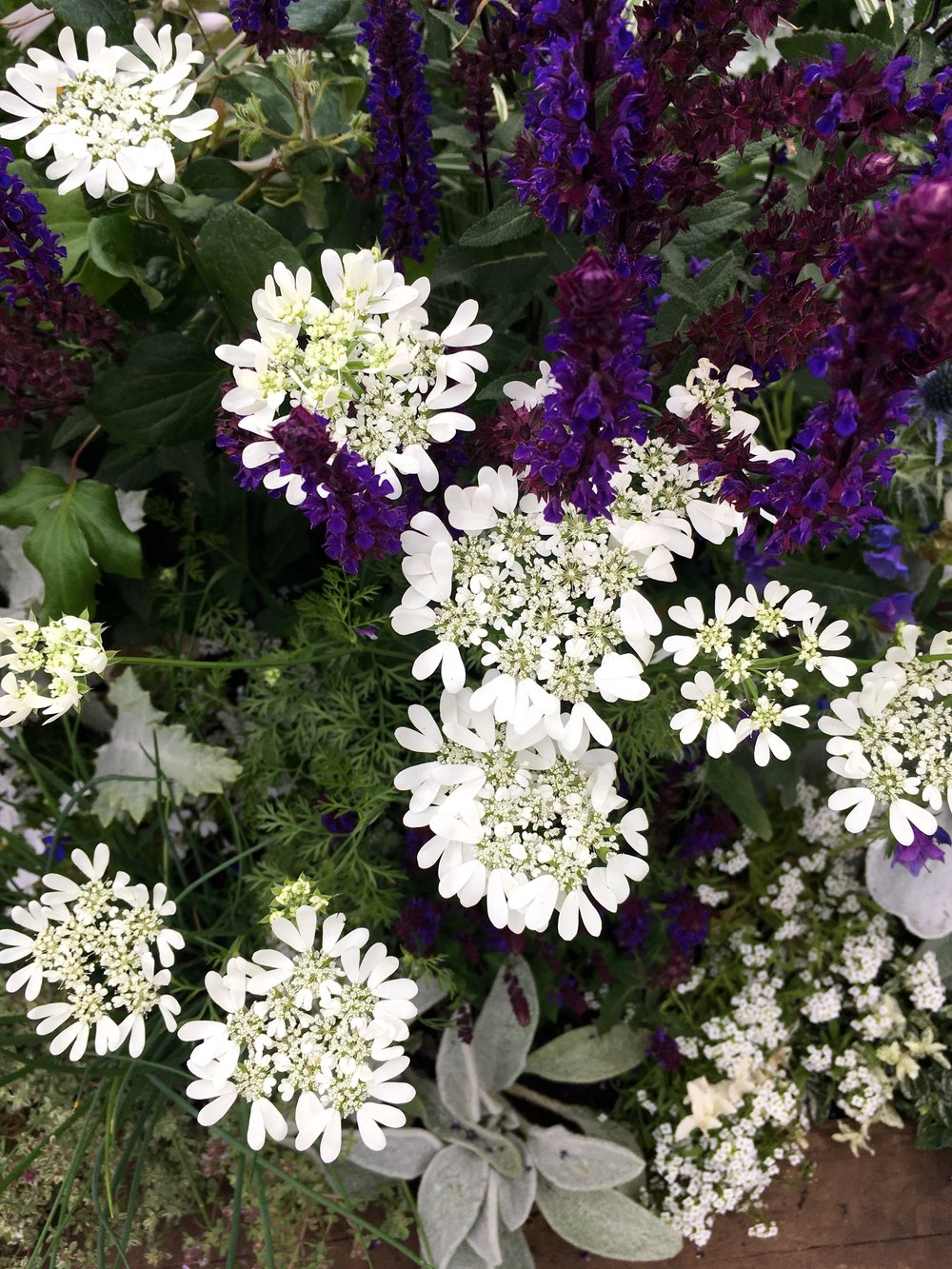 Astrantias in the Chronicles of Narnia beautiful border